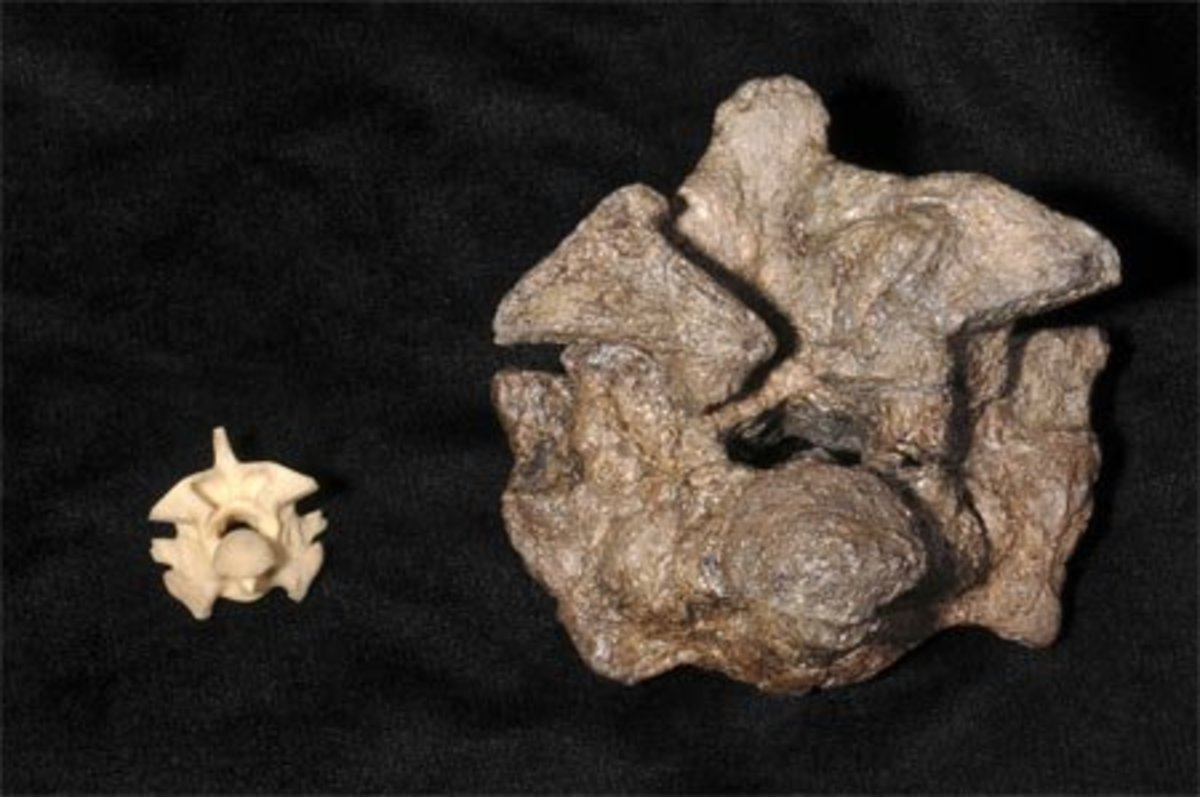 Vertebrae of Titanaboa as compared to modern snake vertebrae