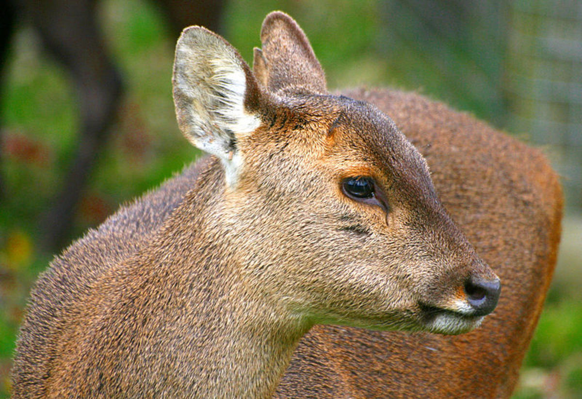 Hog Deer - one of the species that are now wild in Australia