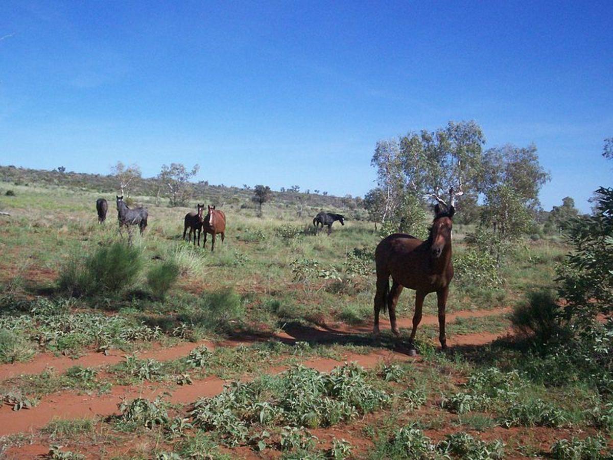 Brumbies (feral horses) in the Australian bush