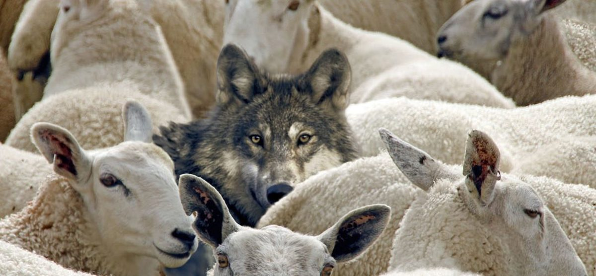 Wolves and Sheep: How to Spot a False Prophet: Matthew 7:15-20