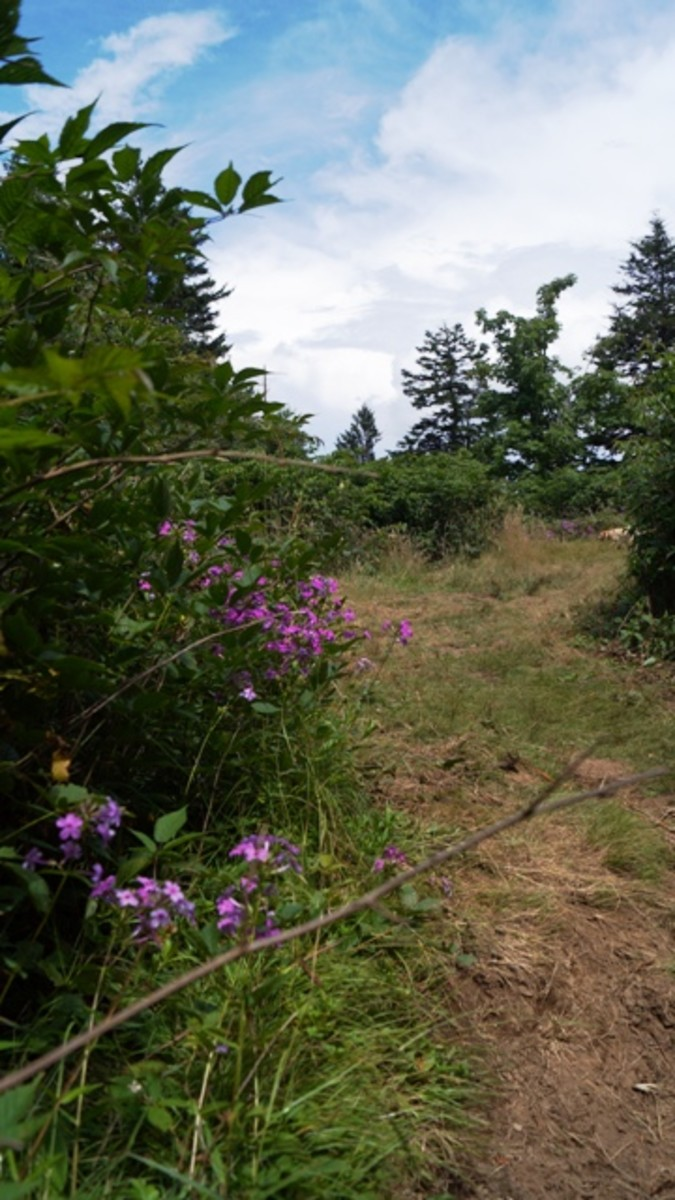 The intersection of Shining Rock Gap and Art Loeb.  Two other trails cross here, as well.  The pink wild phlox provides a great marker in mid-summer.