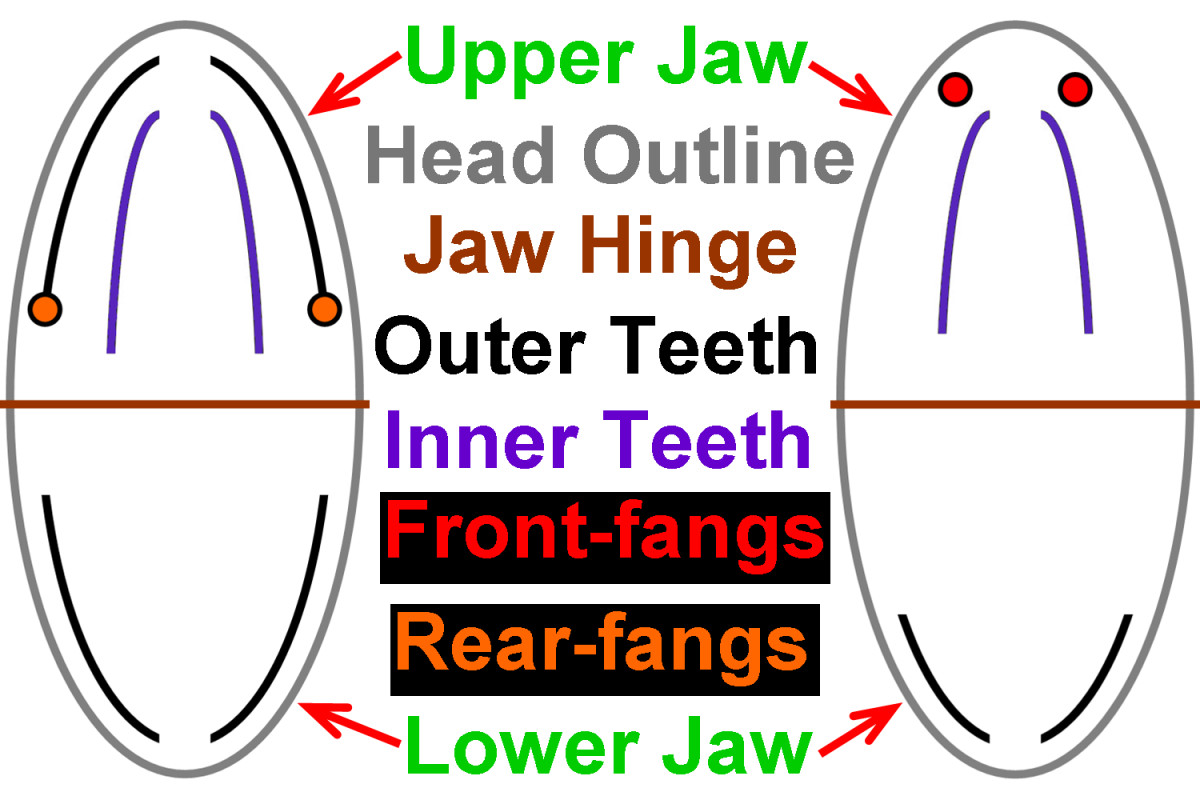 Simplified diagram illustrating the relative differences between most rear-fanged snake skulls (left) and front-fanged snake skulls (right). The diagrams are oriented as if you are peering into the open mouths of the snakes, just as the above photos.