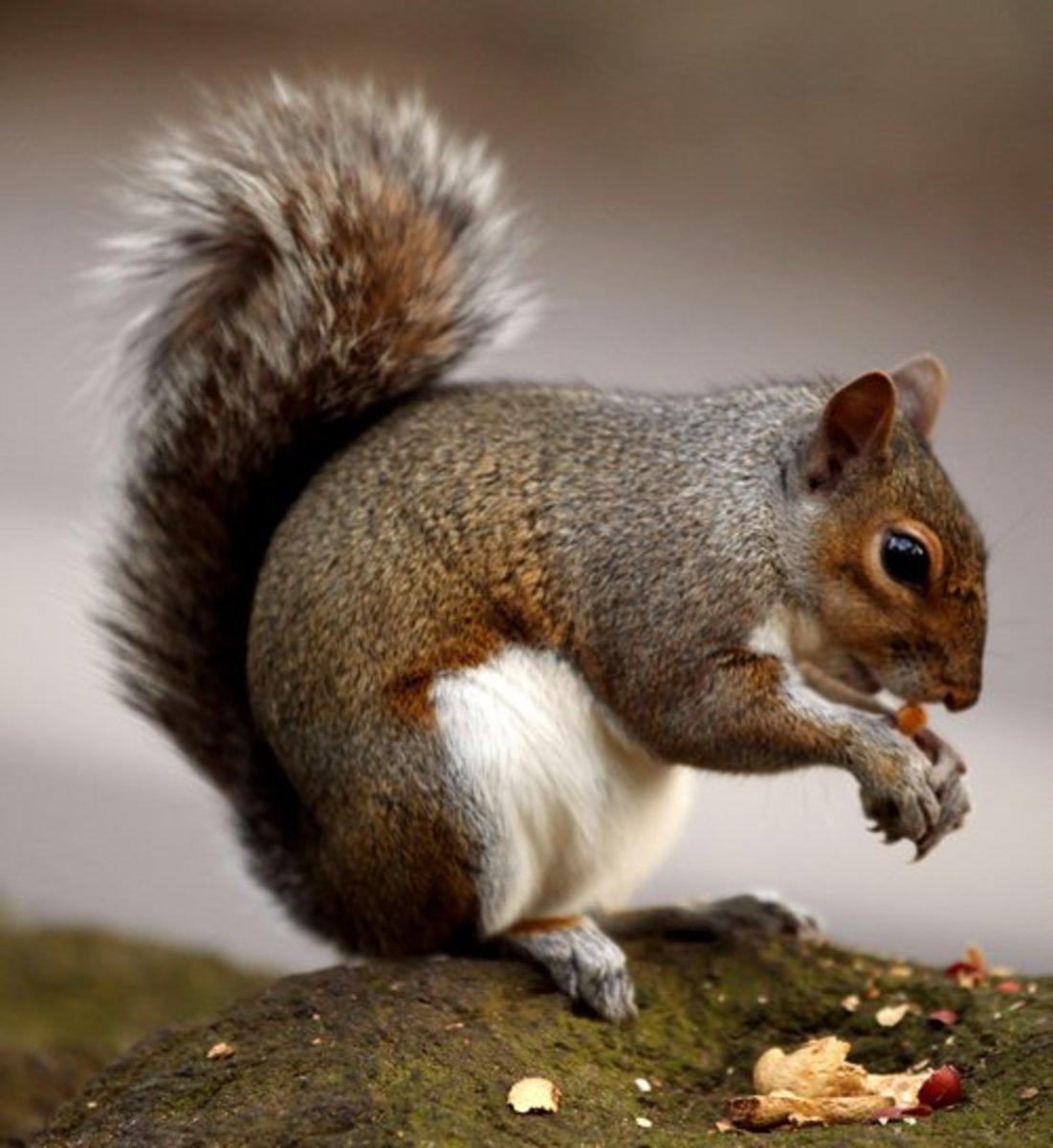 Squirrel, Pixabay, public domain