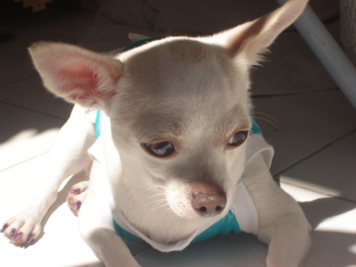 chihuahuas come in a variety of coat colours