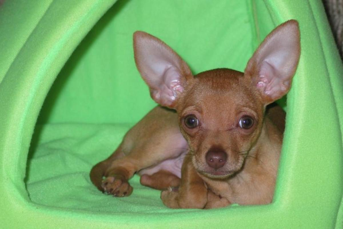 Chihuahua is the smallest dog breed