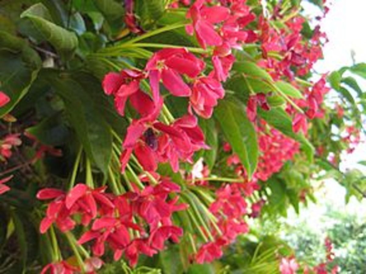 Although the Rangoon Creeper has blossoms of varying reds and pinks, the predominant color is red.