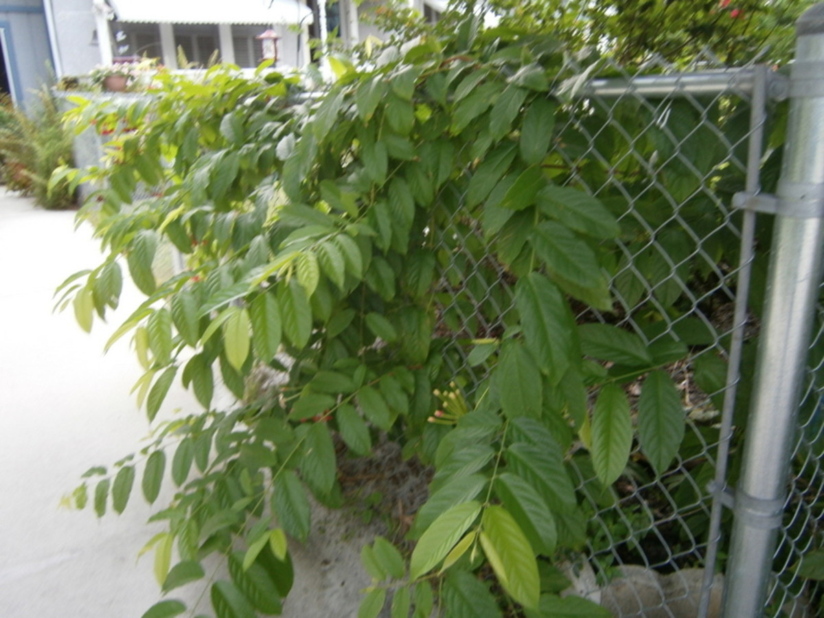 Even when the Rangoon Creeper is not in bloom, it makes a beautiful green vine.