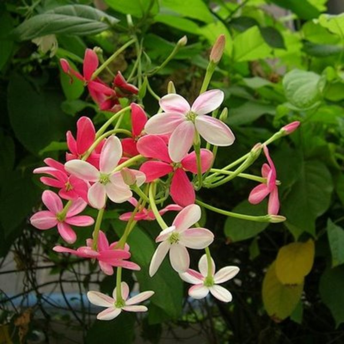 The cluster of blooms on the Rangoon Creeper  has varying colors of red, pink and white.