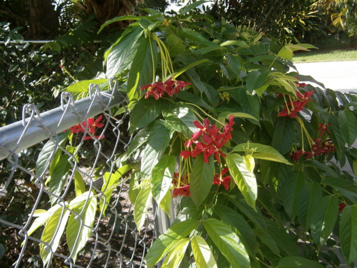 The Rangoon Creeper will bloom like this all Summer.