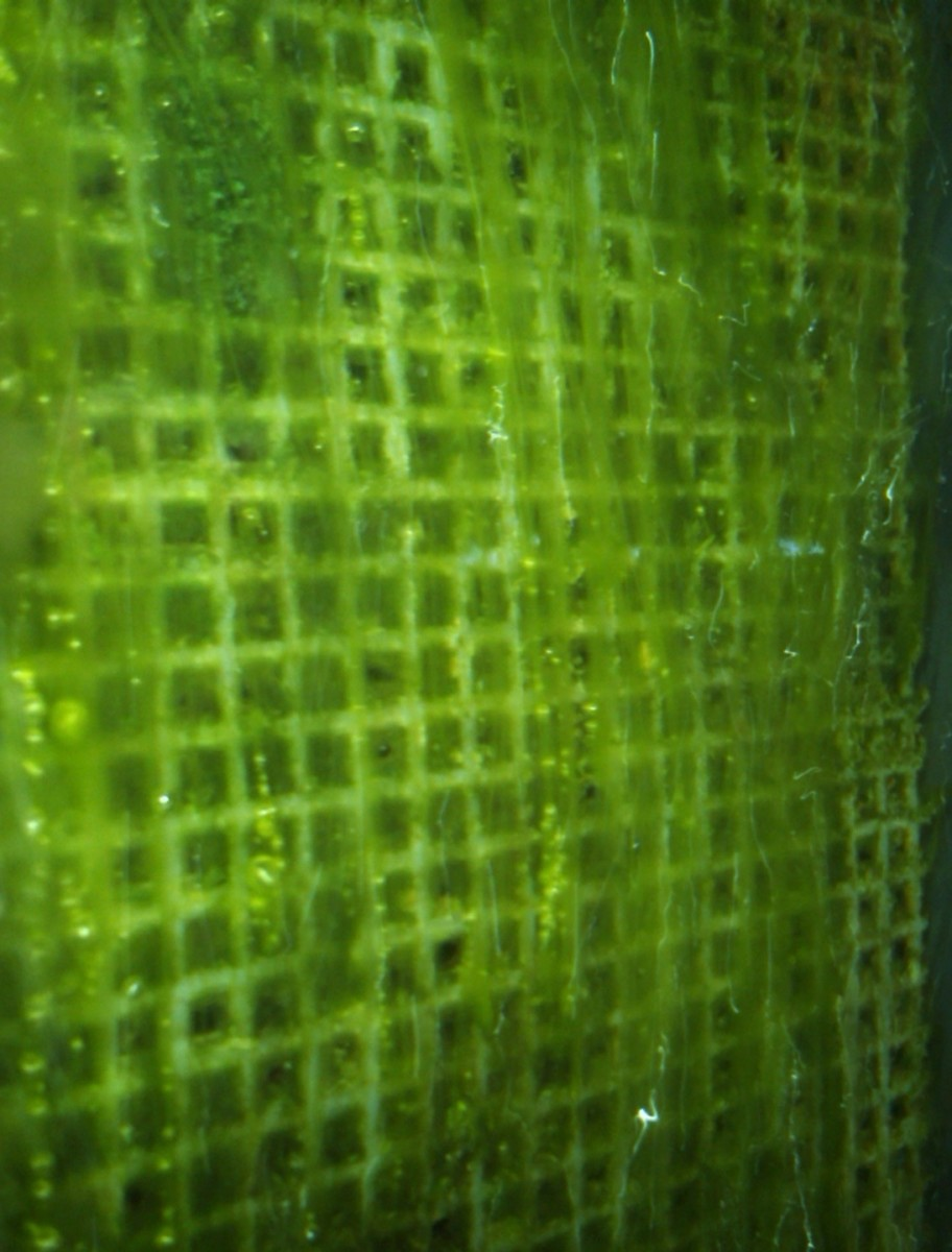 Picture of algae scrubber screen on 8/31/12