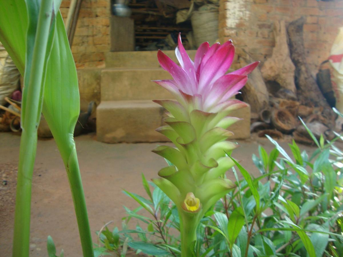 Kasthuri manjal plant in Kerala
