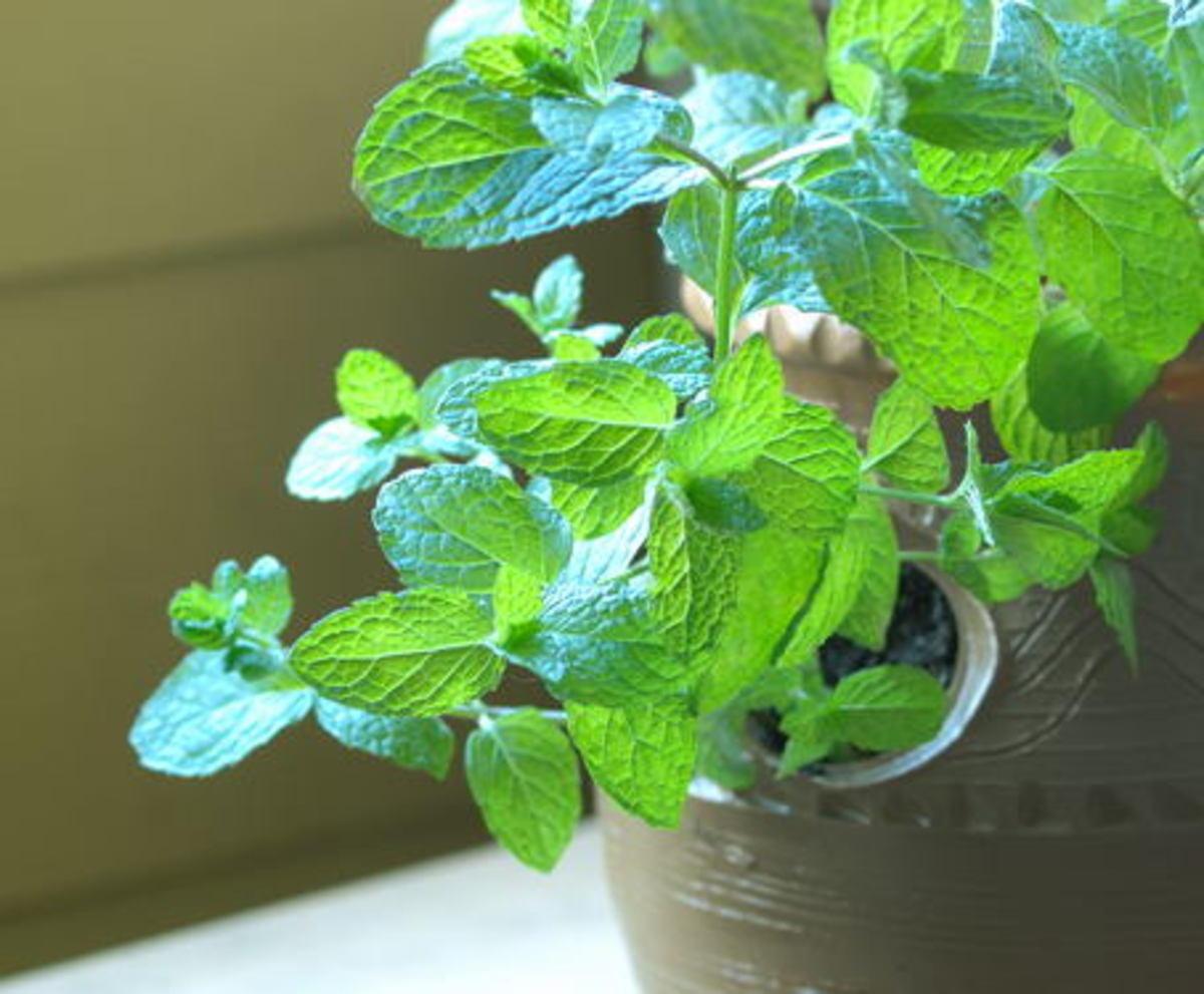 Pudina leaves