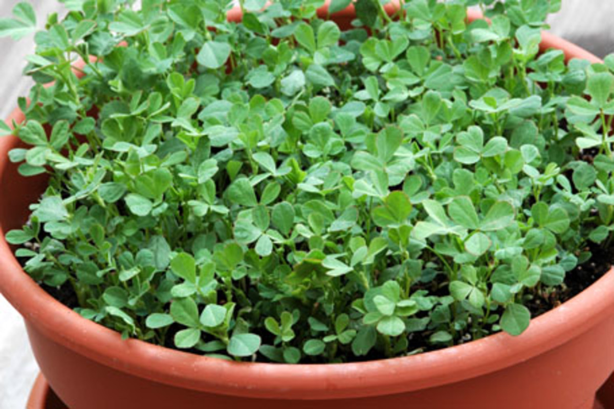 Fenugreek plant