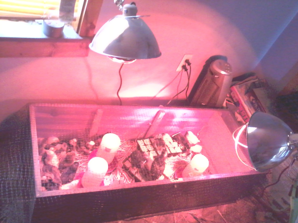 """We built this brooder using a broken book shelf and kept it in the """"storage room"""" in our house."""