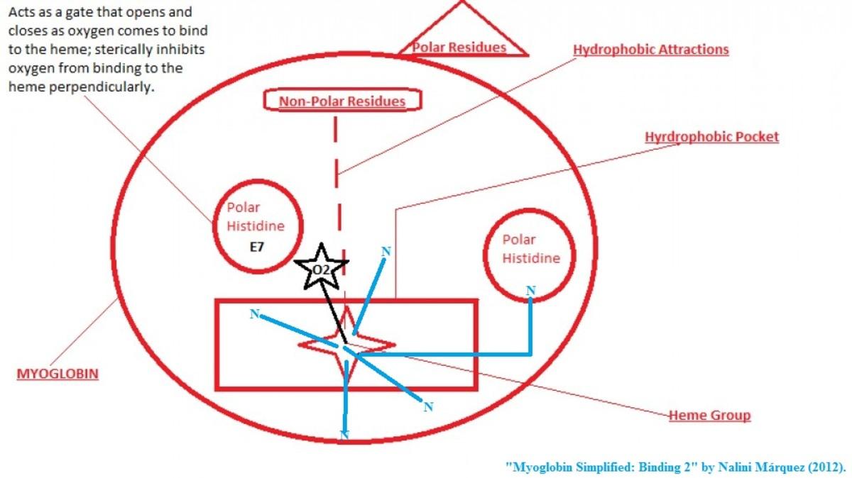notes-on-myoglobin-and-hemoglobin
