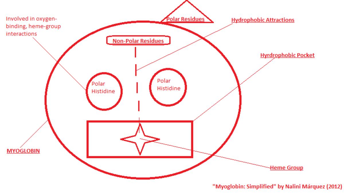 biochemical myoglobin and haemoglobin/hemoglobin structure, properties, and  binding   hubpages