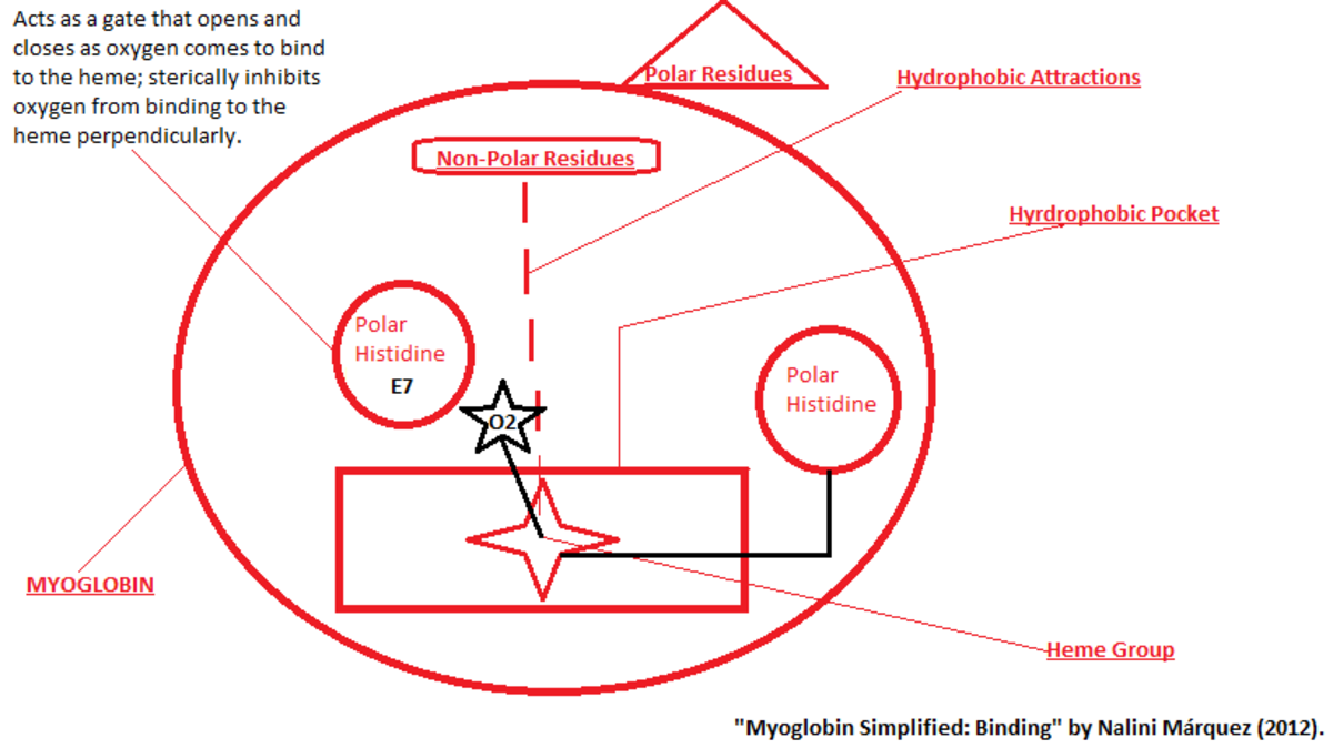 notes-on-myoglobin-and-hemoglobin