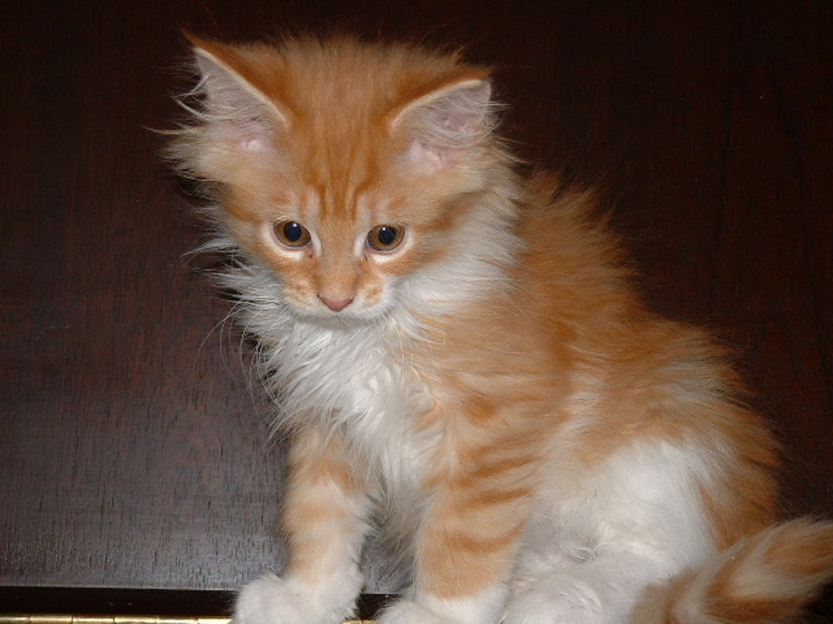 A maine coon kitten of the same breed as Little Nicky