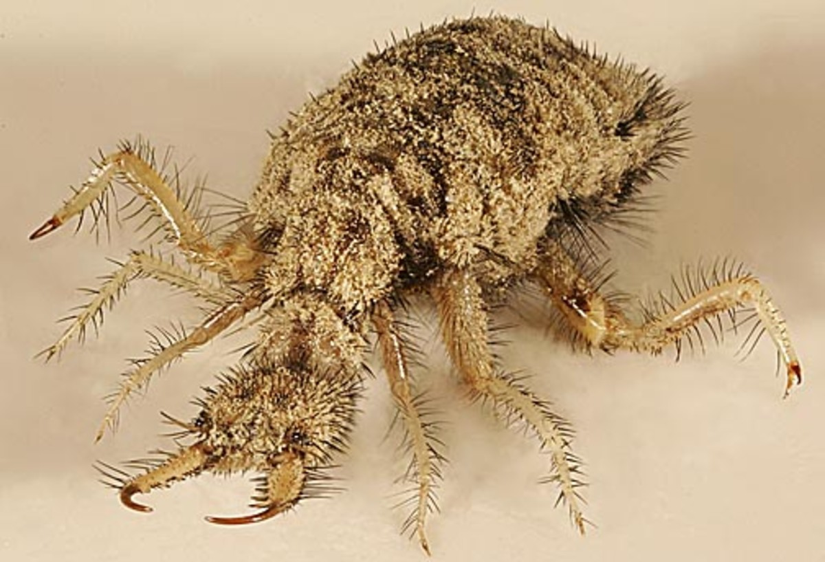 """Sometimes called """"doodlebugs,"""" antlions live right here in the U.S of A!"""