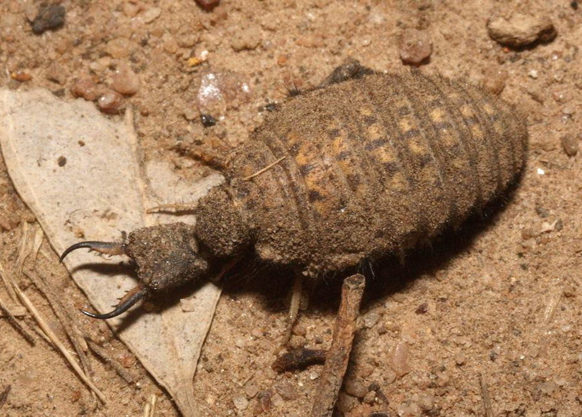 Antlions also exist in most dry places where sand exists.