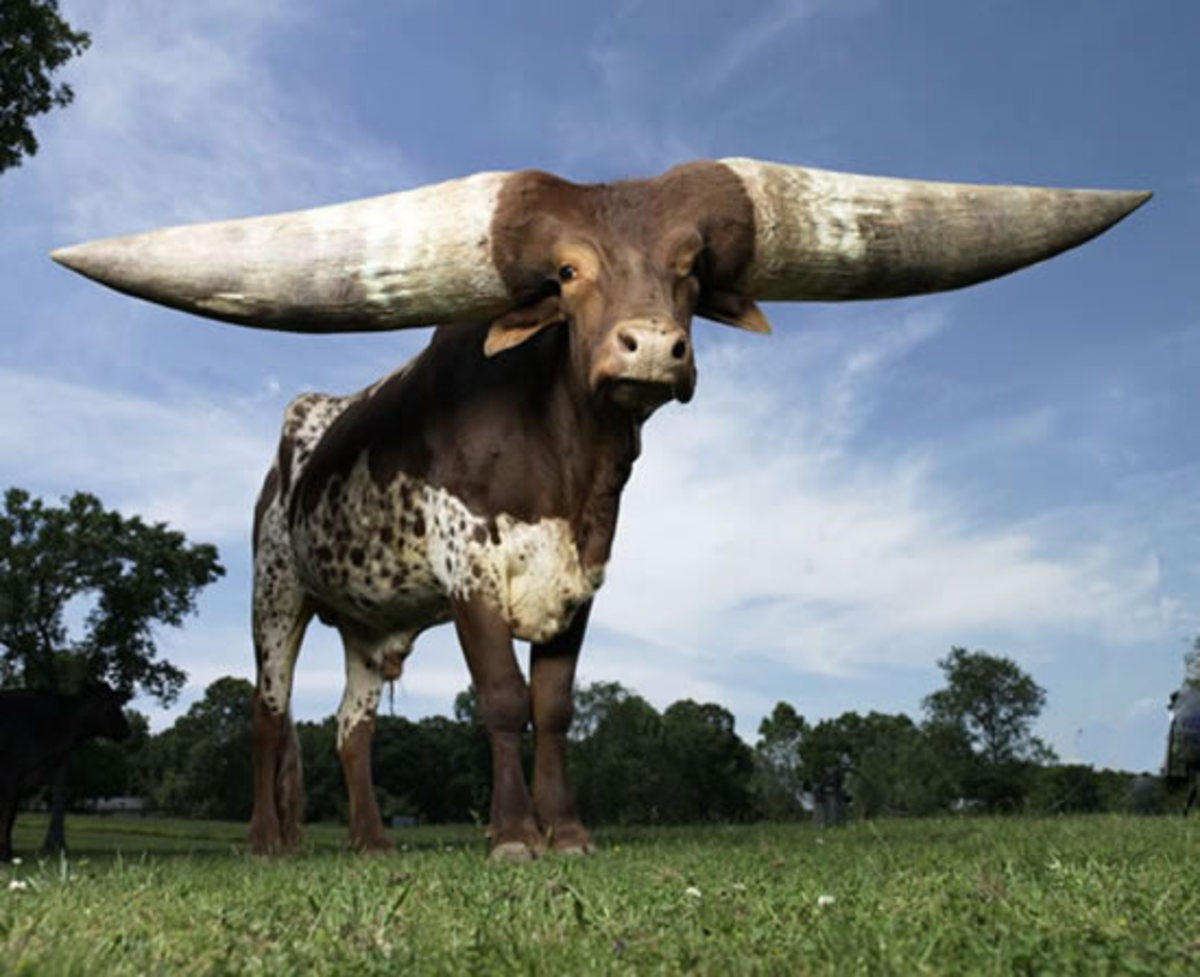 The fattest horns in the world!