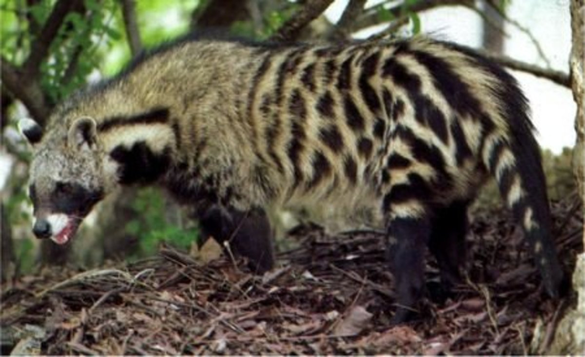 Looking something like a mix between a cat and a weasel, civets may seem peculiar at first.