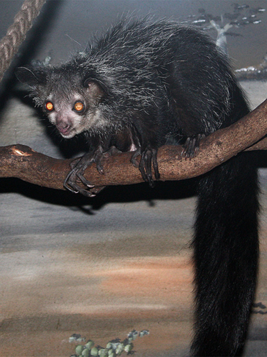 With their long, fluffy tails, it's not very difficult to see aye-ayes as lemurs.