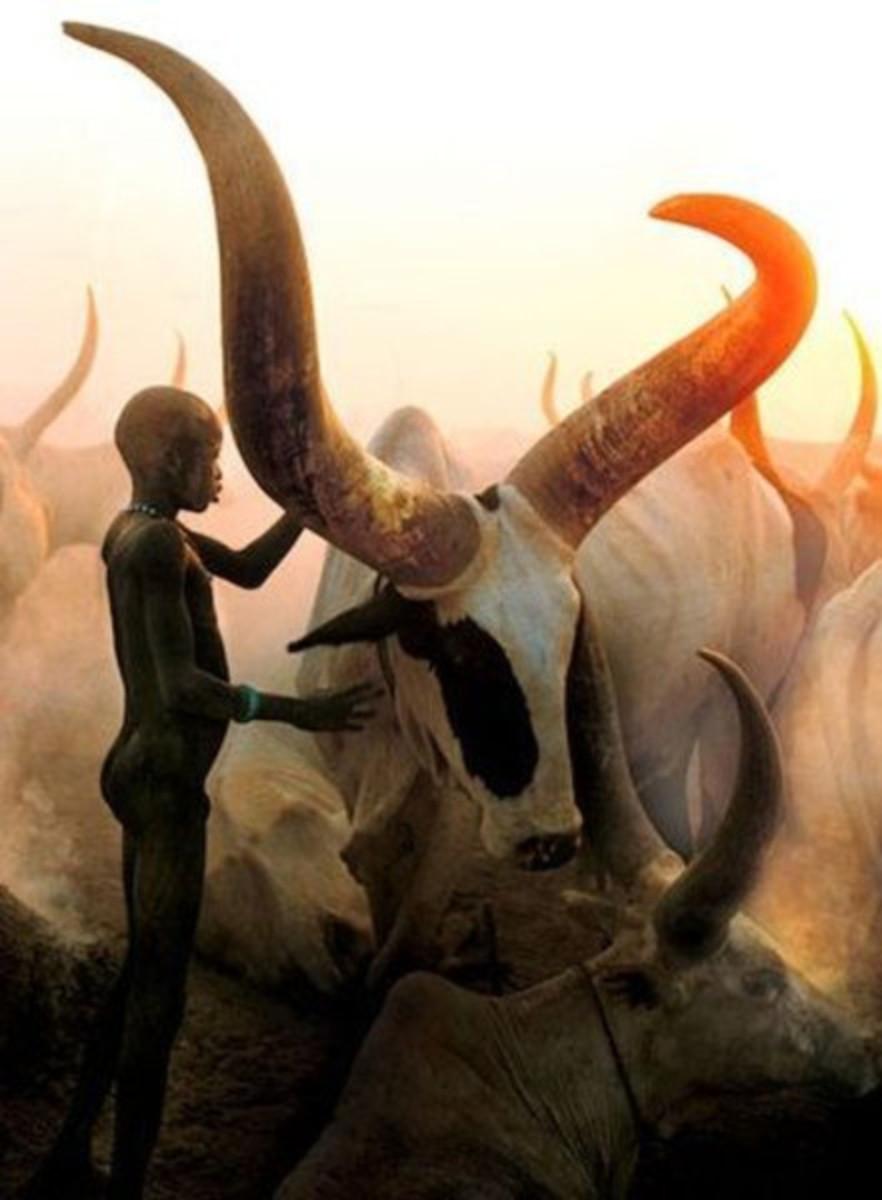 An Ankole-Watusi in Africa.