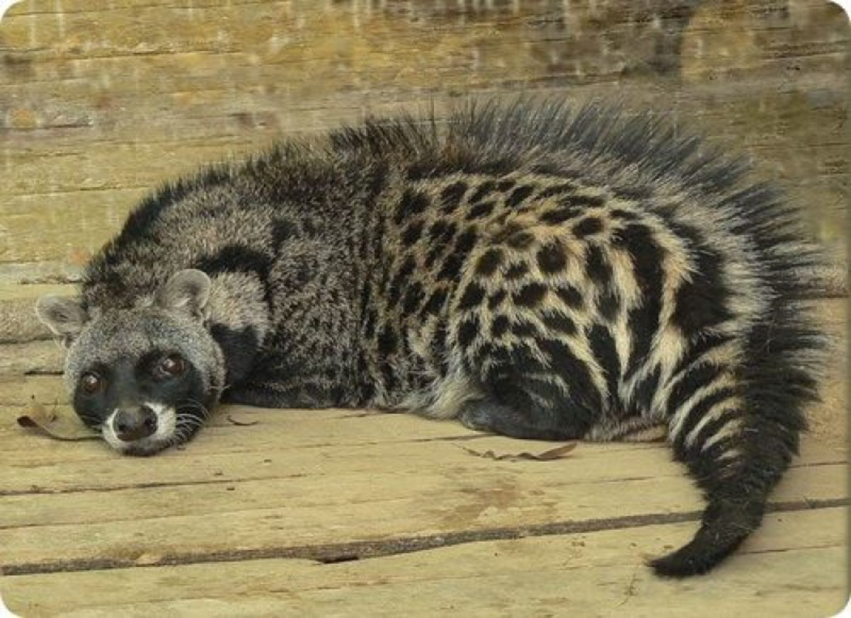 Despite their beautiful coats, African civets are not endangered or even threatened in their native land. Hooray!