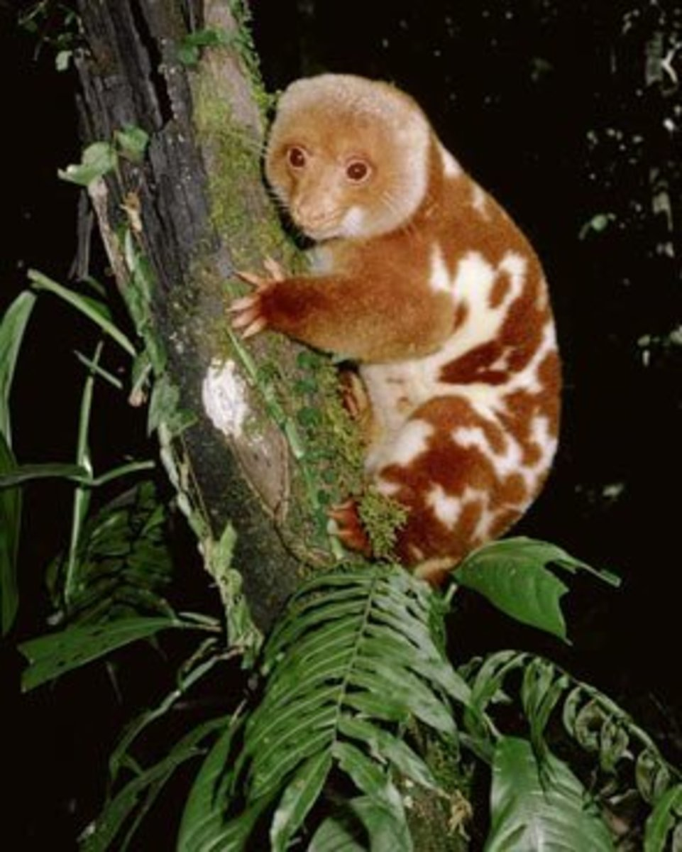 Cuscus eat a wide range of different leaves.