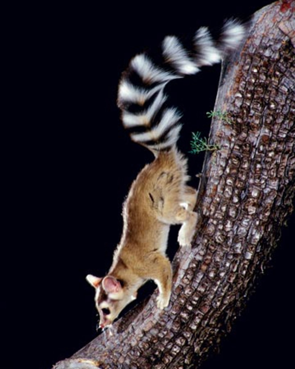The beautiful ringed tail of this species may be used for communication purposes or camouflage.