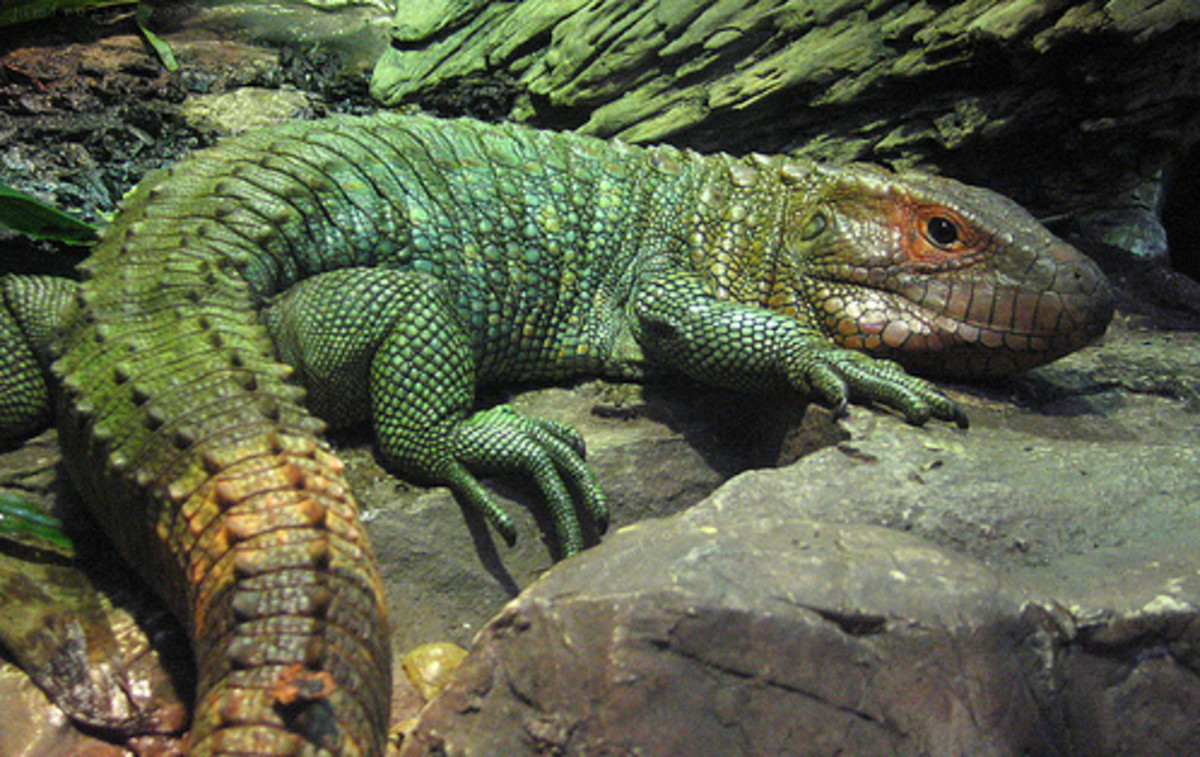 The caiman's powerful tail is used in a similar fashion to an alligator's as it swims through water.