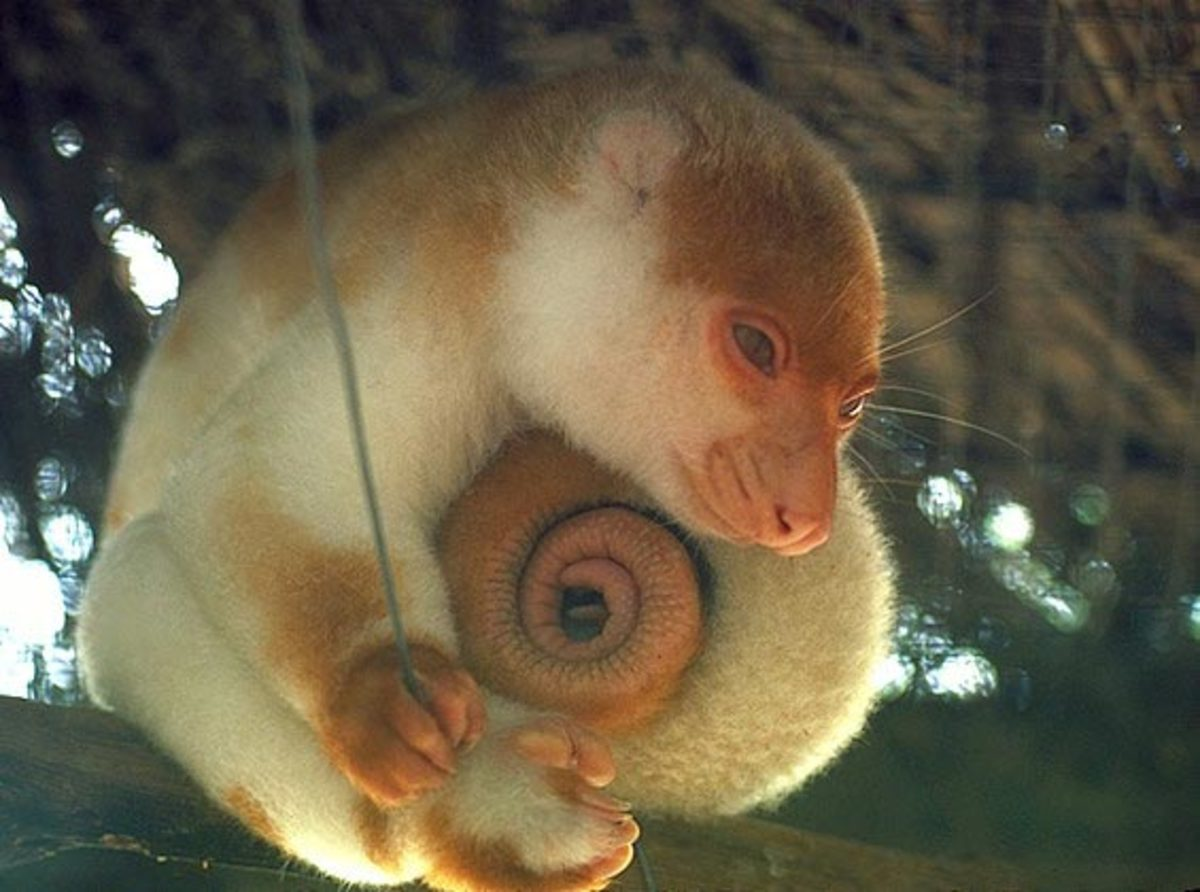 The cuscus' tail is often curled when not in use.