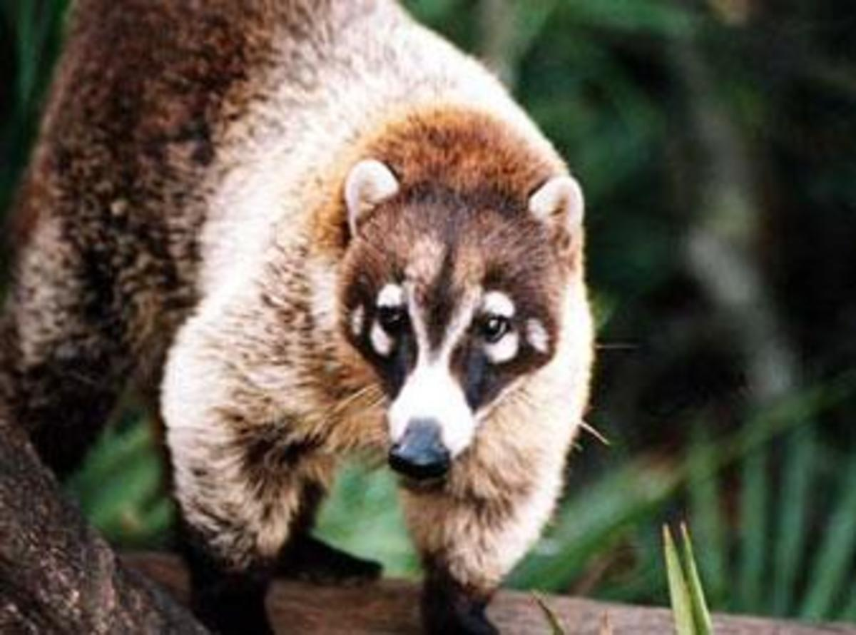 The coati snout is very flexible and can be rotated 60° in all directions.
