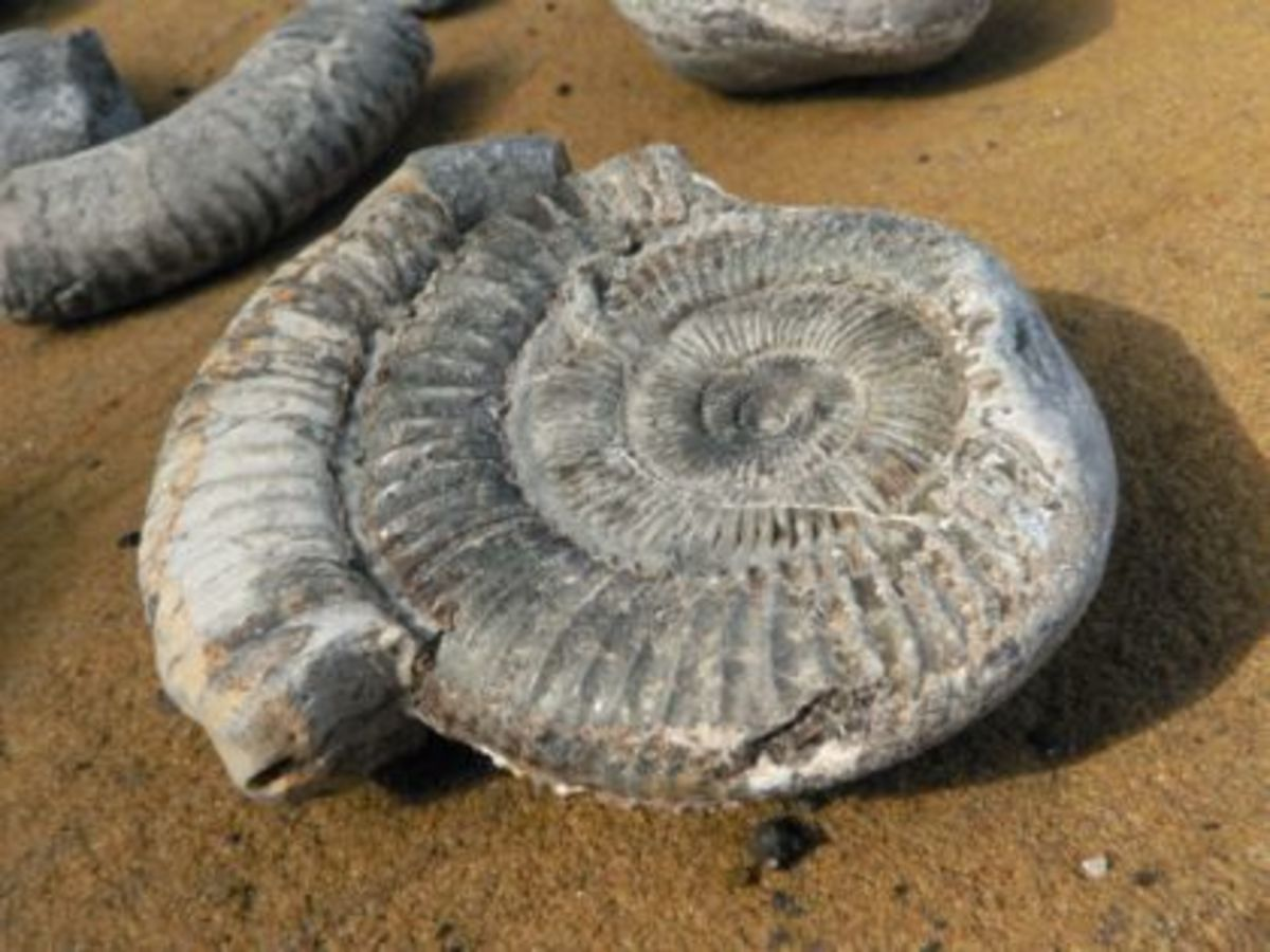 Ammonite found on the foreshore at Port Mulgrave - this is another Jurassic Coast, a plethora of fossils awaits the intrepid geologist