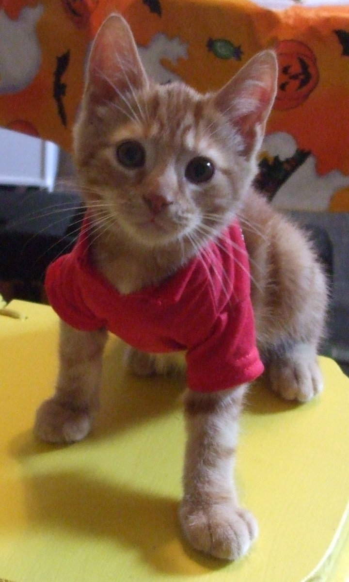 The kitten fit the red shirt when he tried it on a month before Halloween.
