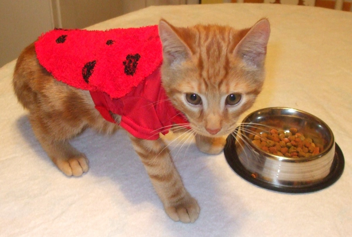 How To Make A Halloween Ladybug Costume For A Kitten