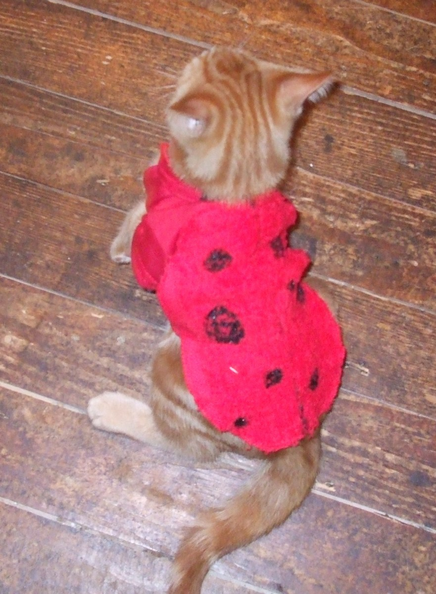 This kitten makes a long, thin ladybug with his costume.