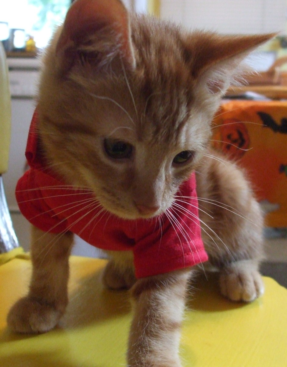 Kitten in a red extra small doggie shirt from a pet store.