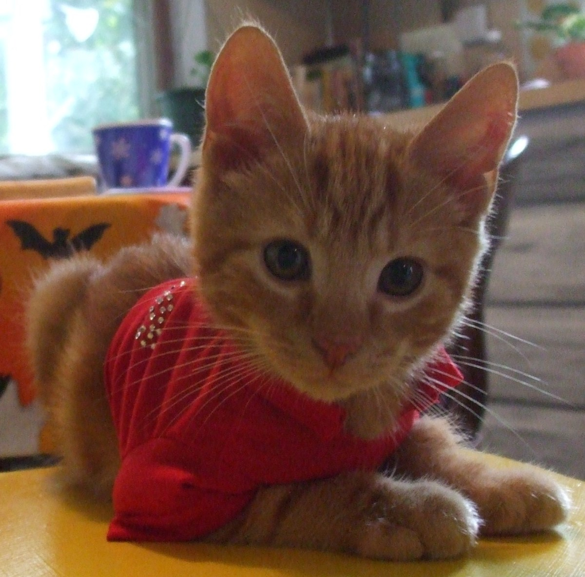 My cute little kitten Cincinnatus trying on the shirt part of the ladybug costume.