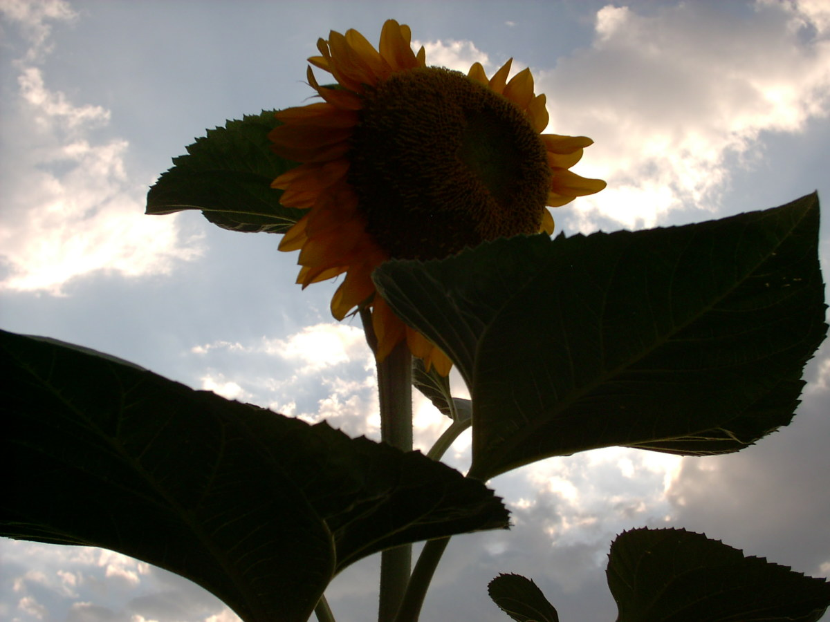 eager flowers reach for the sun