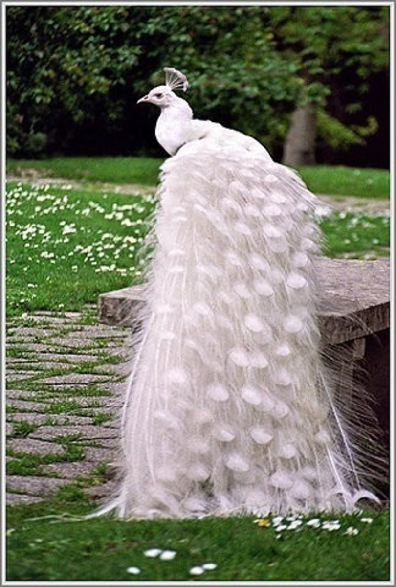 Elegant white peacock