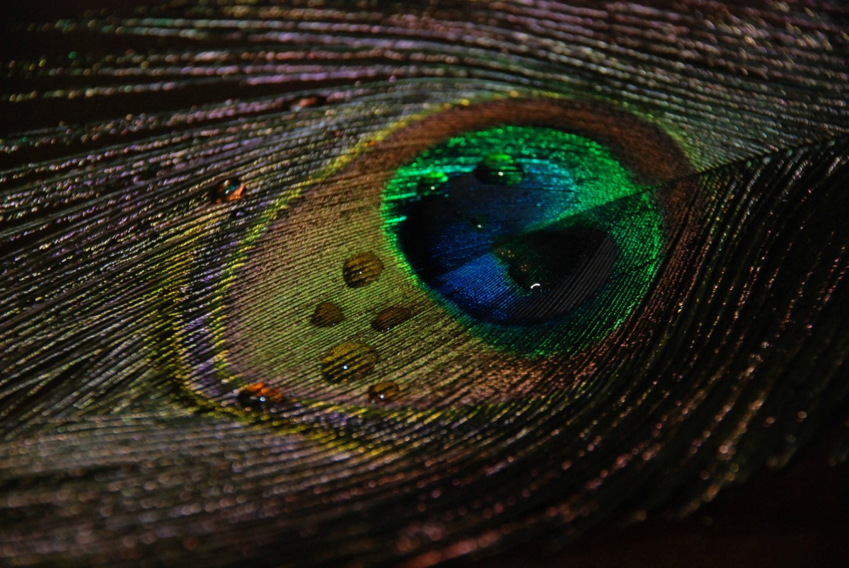Beautiful eye feather