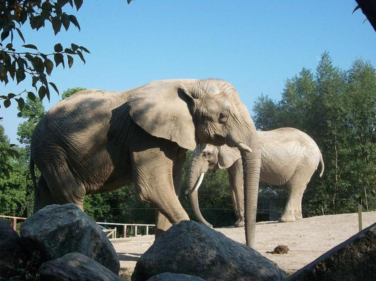 How Long Do Elephants Live in Zoos?