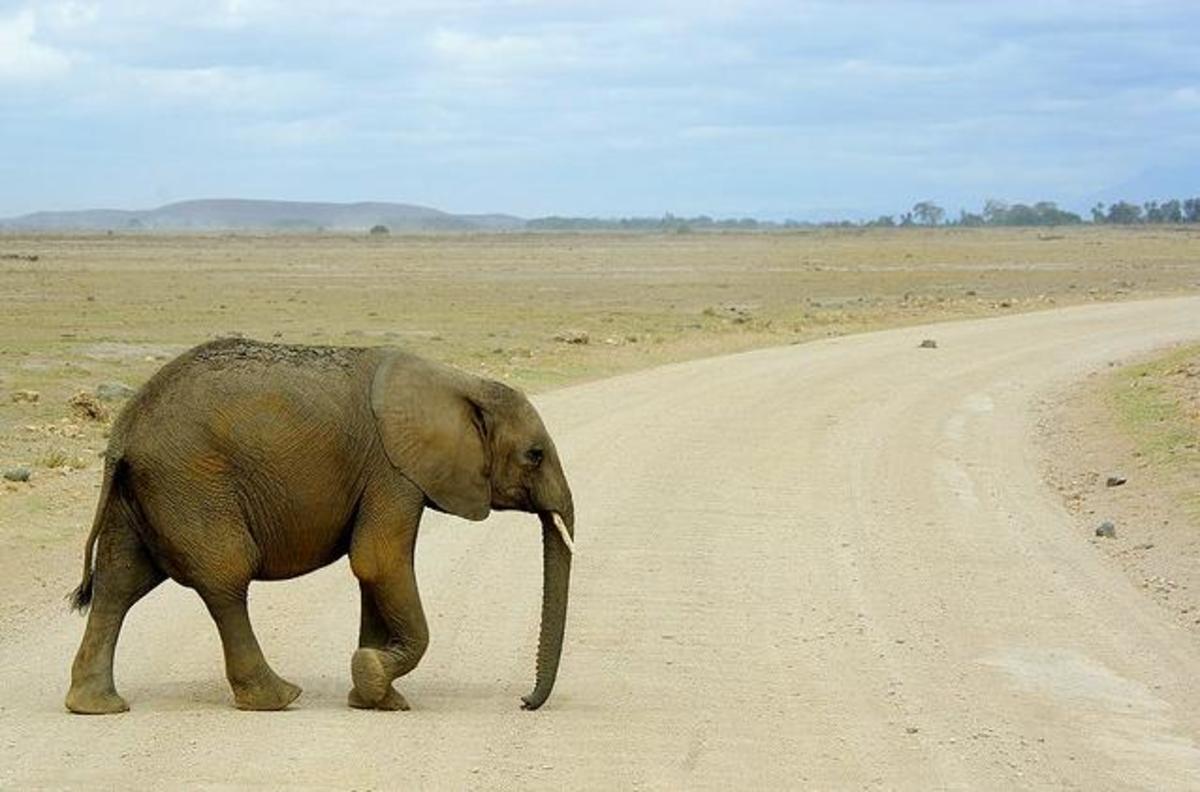 Wild elephant in Tanzania