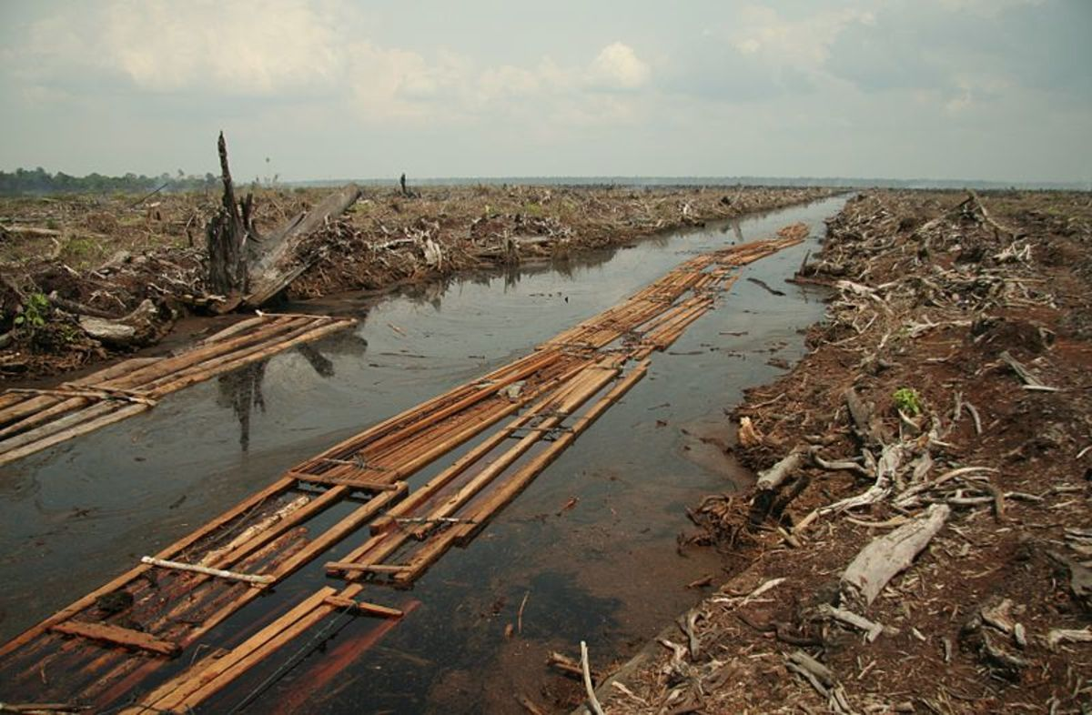 This is the last batch of sawnwood from a patch of forest cleared in Indonesia for the widespread planting of oil palm