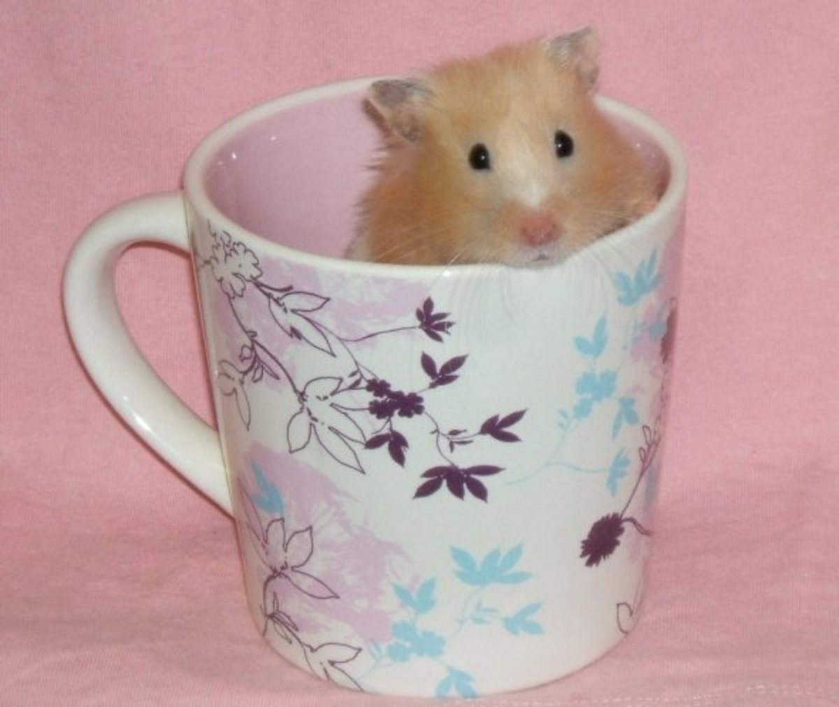 How About A Cup Of Hamster. In the photo is a beautiful specimen of a Teddy Bear Hamster.