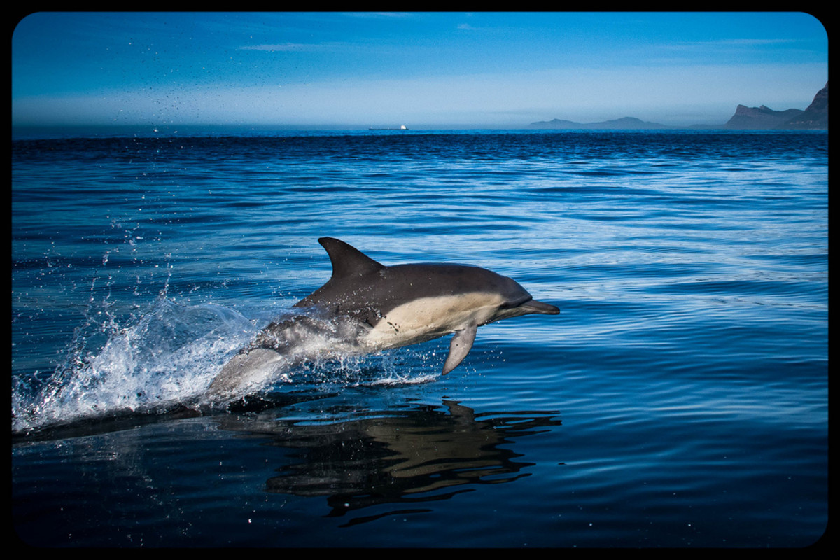 Common dolphins fare poorly in captivity and are rarely kept