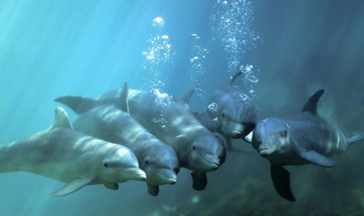 A group bottlenose dolphins