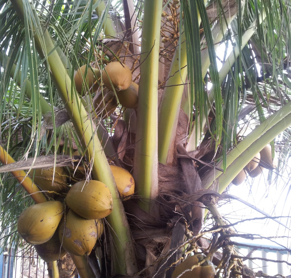 Young coconuts on a coconut palm tree near my house